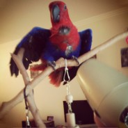 Blow-drying my parrot